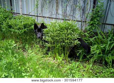A Beautiful Black Dog Hid Behind A Green Bush In The Garden. Playing Hide And Seek
