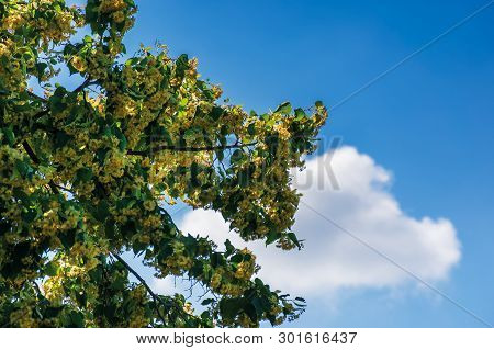 Branches Of Blossoming Linden On The Blue Sky Background With Fluffy Cloud. Beautiful Nature Scenery