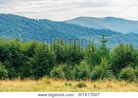 Primeval Beech Forests Of Carpathian Mountains. Beautiful Late Summer Landscape In Afternoon. Svydov