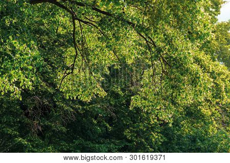 Branches Of Linden Tree In Blossom. Beautiful Summer Nature Scenery