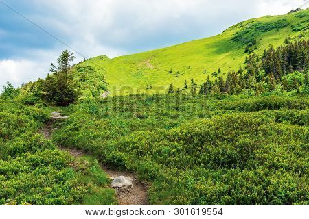 Tree By The Footpath Up The Hill In Summer. Beautiful Nature Scenery On A Sunny Day. Coniferous Fore