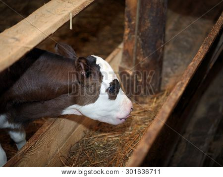 Feeding A Little Calf With Silage On A Farm, Indoor Shot