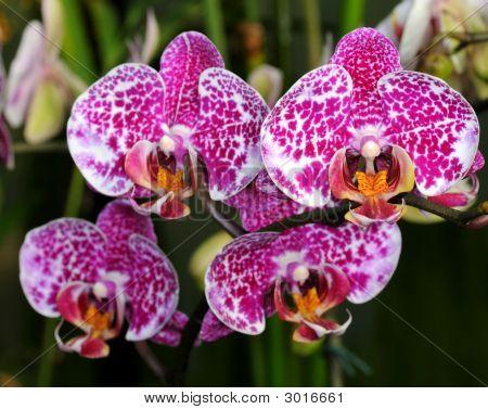 Orchid Doritaenopsis
