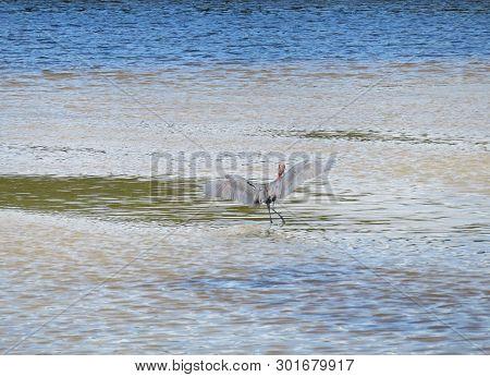 Reddish Egret Ding Darling Wildlife Refuge Sanibel Florida