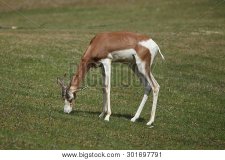 Mhorr gazelle (Nanger dama mhorr), also known as the dama gazelle.