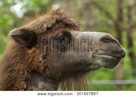 Bactrian camel (Camelus bactrianus). Domesticated animal.