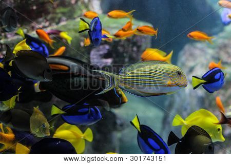 Dory Fish Closeup Or Palette Surgeonfish Inside Coral Reefs In The Blue Aquarium