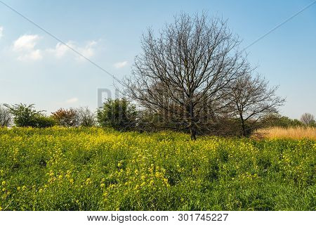 In The Foreground Yellow Blooming Rapeseed And In The Background A Tall Shrub With Bare Branches Aga