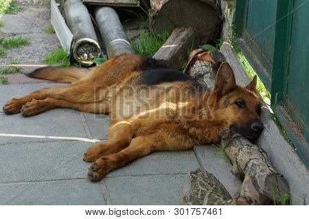 Brown Shepherd Dog Lying On The Street Near The Green Fence