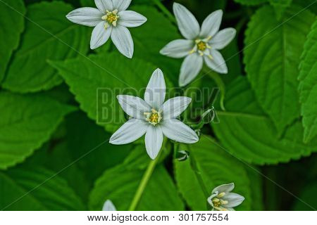 Small Wild White Flowers With Green Leaves In Nature