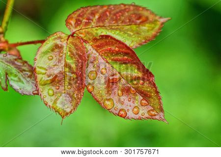 Red Green Leaves On A Rosebush With Water Drops