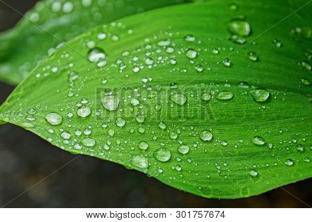 Big Green Leaf Of A Plant With Water Drops