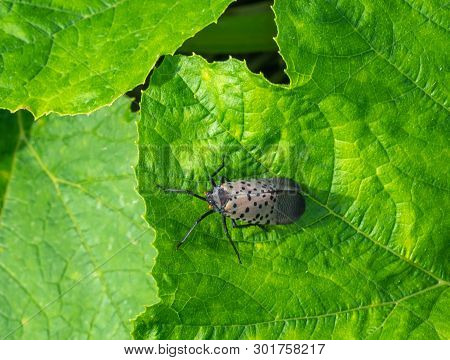 Spotted Lanternfly (lycra Delicately) On Green Leaf, Late Summer, Berks County, Pennsylvania