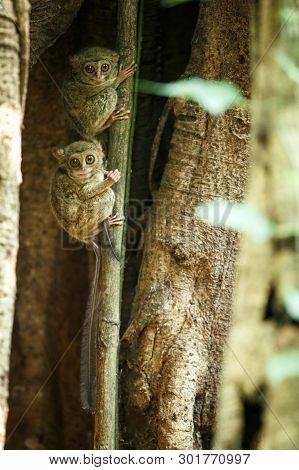 Family Of Spectral Tarsiers, Tarsius Spectrum, Portrait Of Rare Endemic Nocturnal Mammals, Small Cut