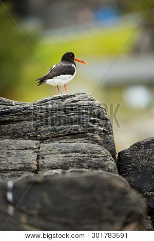 Haematopus Ostralegus. Norwegian Wildlife. Beautiful Picture. From The Life Of Birds. Free Nature. R