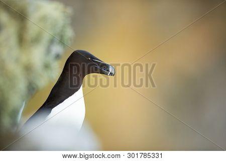 Alca Torda. Norwegian Wildlife. Beautiful Picture. From The Life Of Birds. Free Nature. Runde Island