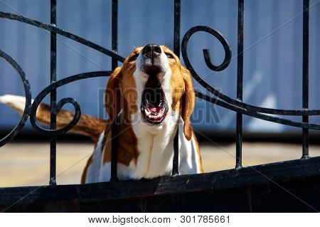 Dog Breed Beagle Barking Behind Metal Wrought Fence