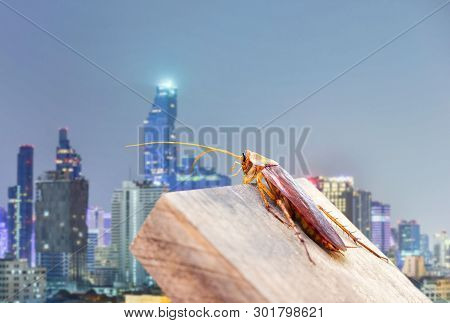 Cockroaches Caught On The Wood Behind The City. The Concept Of Preventing Cockroaches And Eliminatin