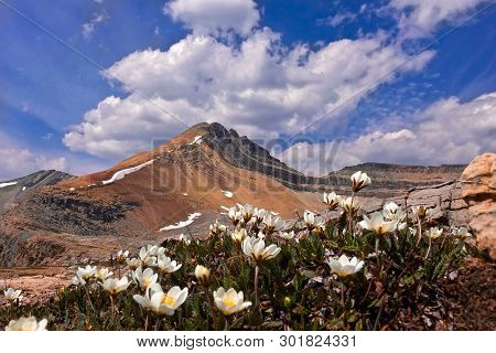 Hiking In Canadian Rockies. Landscape With Mountain Peak And Wildflowers In Alpine Meadows. Cirque P