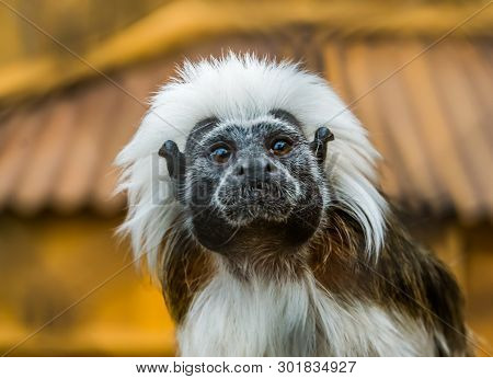 Funny Closeup Of The Face Of A Cotton Top Tamarin, Tropical Critically Endangered Monkey From Colomb