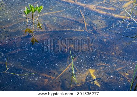 Many Small Tadpoles Swimming In A Lake With Dirty Water. Natural Habitat Environment.