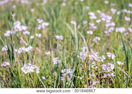 Closeup Of Pink Blooming Cuckooflowers Or Cardamine Pratensis Among The Grass Of A Meadow In The Net