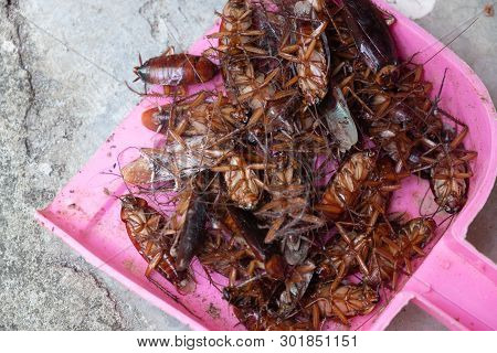 Many Cockroaches Die Because Of Insecticides. Cockroaches Are Carriers That Must Be Careful And Prot