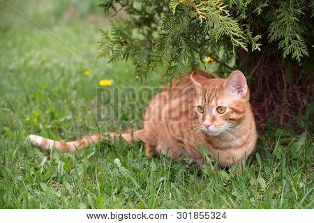 Red Young Cat Lying On The Green Grass Next To The Thuja