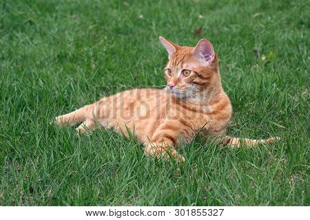 Red Young Cat Lying On The Green Grass