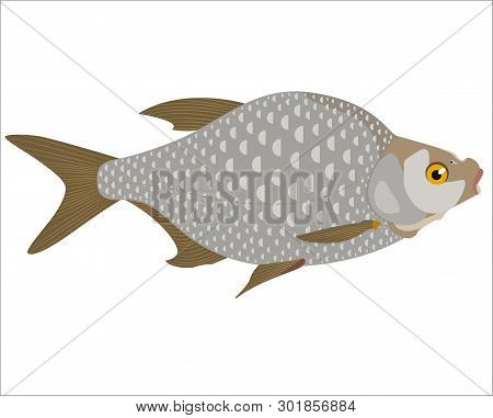 The Freshwater Bream (abramis Brama) Is Isolated On A White Background.