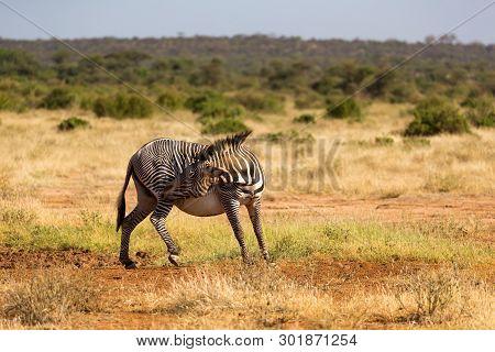 Grevy Zebras Are Grazing In The Countryside Of Samburu In Kenya