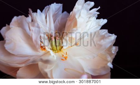 White Fluffy Fading Peony, Romantic Decadence Concept. Beautiful Delicate Flower, Blooming. Black Ba