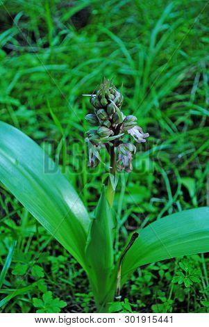 Barlia Robertiana Wild Macro Flower Orchidaceae Family Background Wallpaper Fine Prints Products
