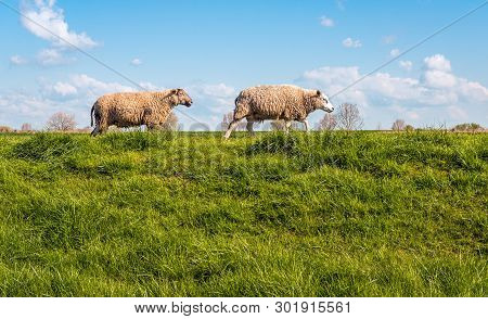 Two Sheep Walking Behind One Another On The Top Of A Dutch Dike On A Sunny Day In The Spring Season