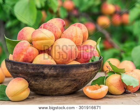 Ripe apricots in the wooden bowl on the table. Green apricot tree at the background.