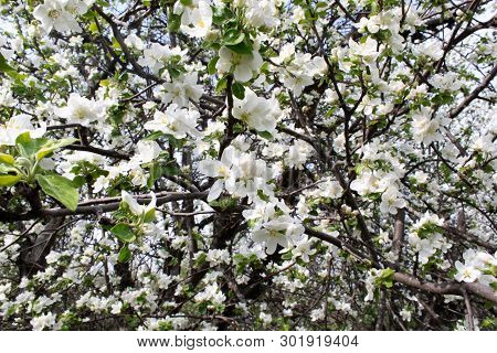 Apple Blossom Branch Of Flowers Cherry On A Black Background. Traditional Ornate Spring Flowers Saku