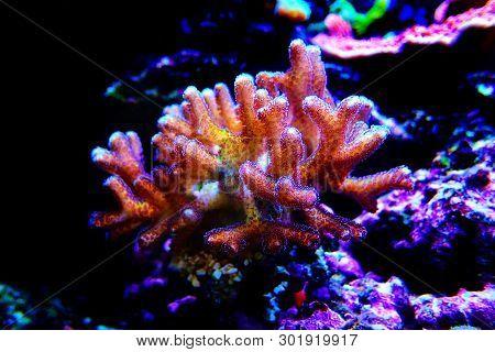 Bird Of Paradise Sps Coral - (seriatopora Sp.)