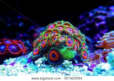 Eagle Eye Zoanthus polyps colony aquacultured in coral reef aquarium tank poster