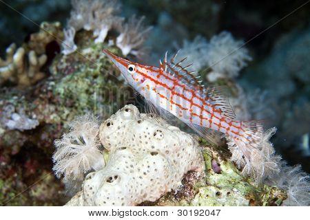 Longnose hawkfish (oxycirrhites typus) in de Red Sea.