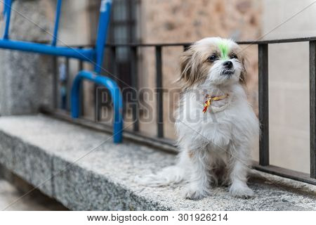 Caceres, Extremadura, Spain - May 18, 2019: A Dog With A Ribbon At The Neck With The Flag Of Spain A