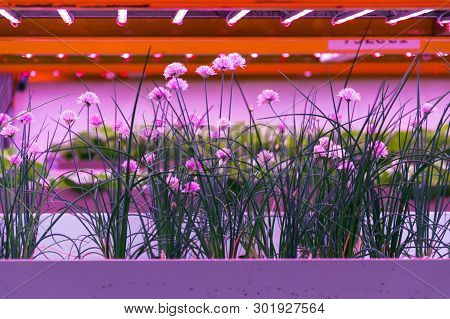 Chives in aquaponics system, combination of fish aquaculture with hydroponics, cultivating plants in water under artificial lighting, Allium schoenoprasum poster