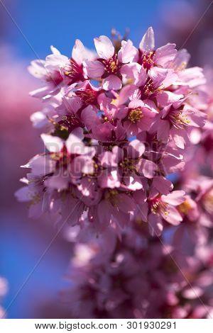 Oriental Cherry Blooming