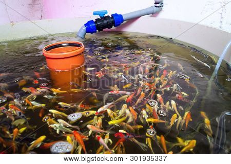 Various Fish Species In Aquaponics System, Combination Of Fish Aquaculture With Hydroponics, Cultiva