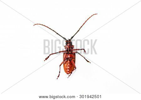 Big Rusty Beetle Isolated Tip Over On A White Background