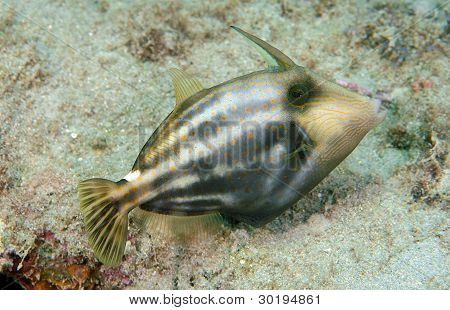 Orange Spot Filefish on the reef