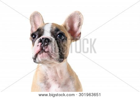 Cute French Bulldog Puppy Looking Isolated On White Background And Copy Space For Input Text, Animal