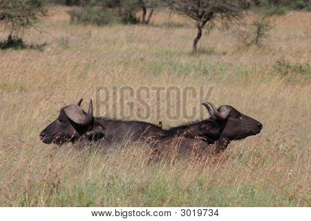 Zwei Büffel