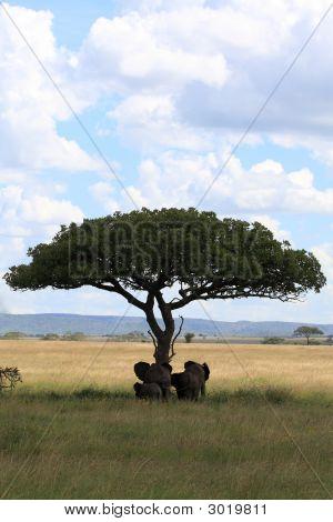 Elefantenfamilie unter Dach Acacia