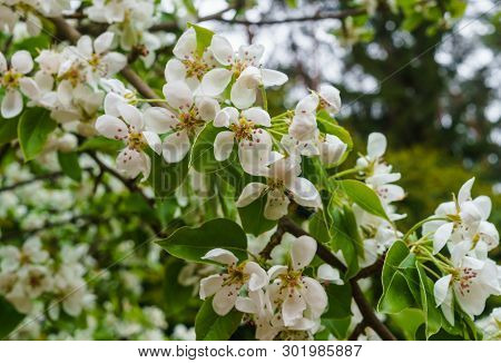 Branches With Delicate White Pear Flowers In Spring In The Garden.