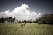Grazing horses on a Danish meadow in springtime – Vintage colours poster